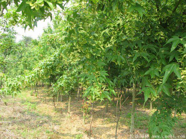 枫树图片枫树基地实拍