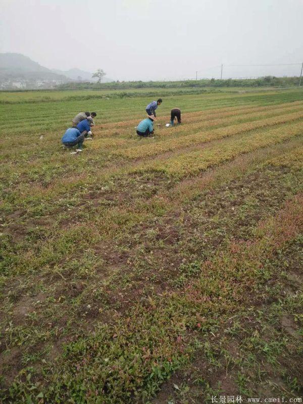 青枫种子发芽出苗图片