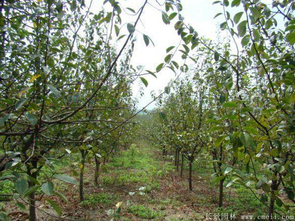 木瓜树图片木瓜树基地实拍