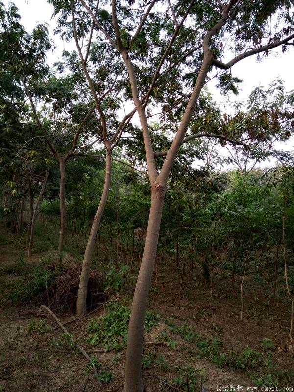 合欢树图片合欢树基地实拍