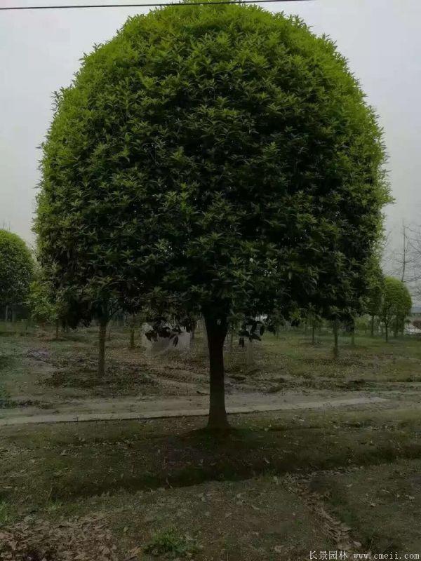 桂花树图片桂花树基地实拍