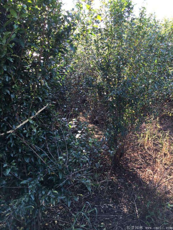 石榴树图片石榴树基地实拍