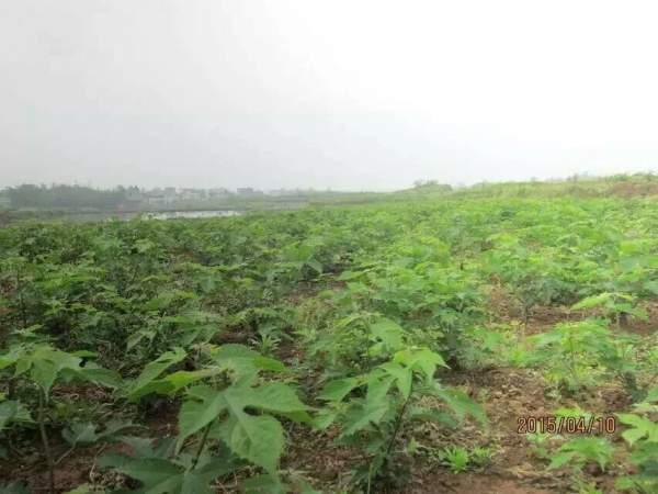 构树种子发芽出苗图片