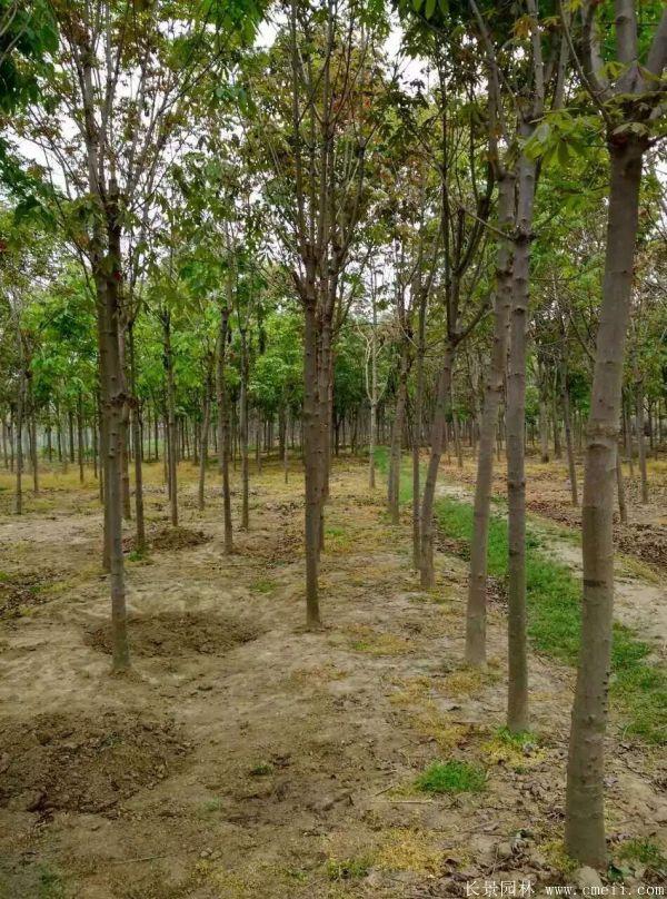 七叶树图片七叶树基地实拍