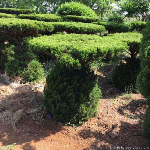 龙柏造型树图片龙柏造型树基地实拍