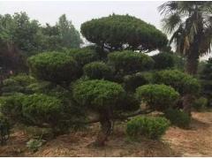 龙柏造型树