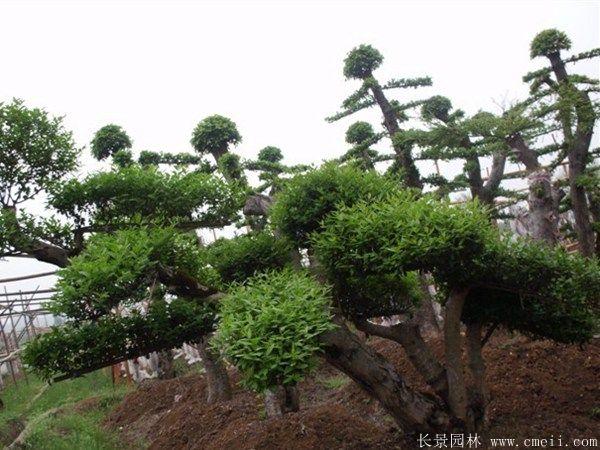小叶女贞造型树图片基地实拍