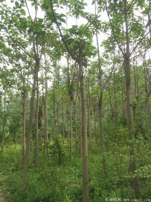 泡桐树图片泡桐树基地实拍