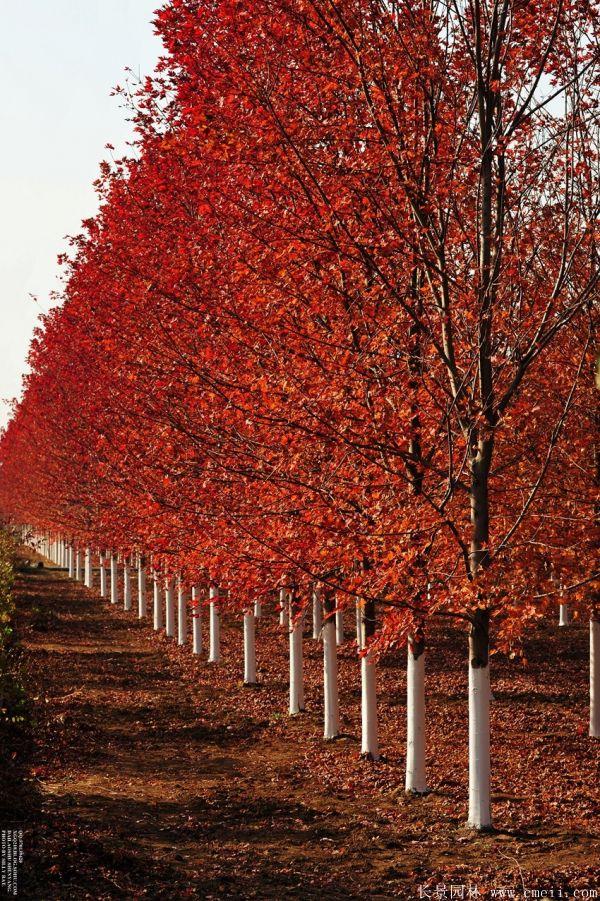 美国红枫图片美国红枫基地实拍