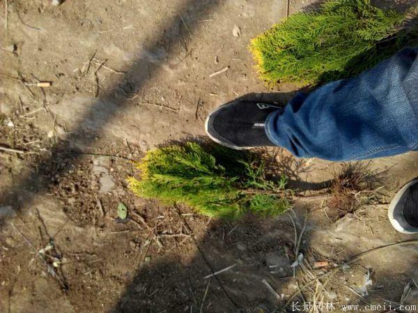 洒金柏种子发芽出苗图片