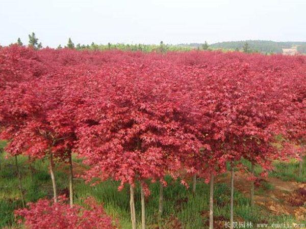 红枫图片基地实拍