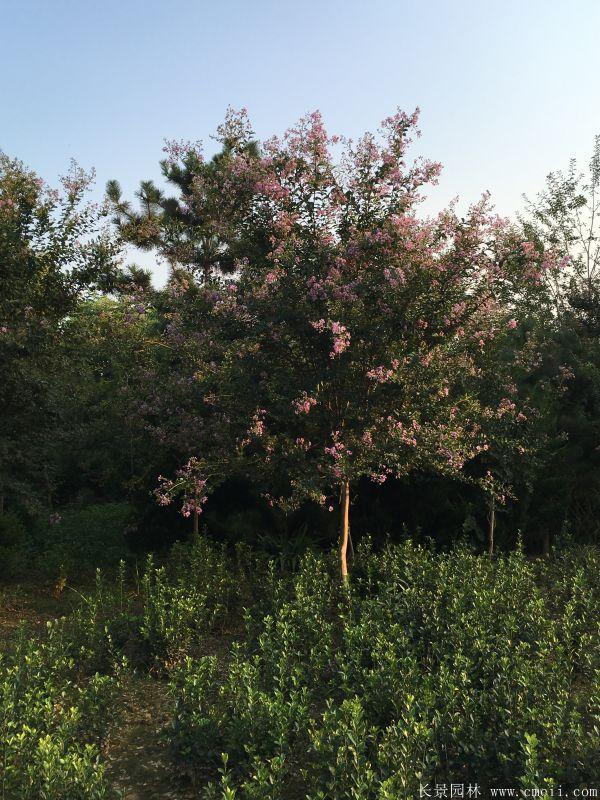 紫薇树图片基地实拍