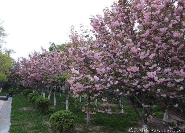 求购樱花树