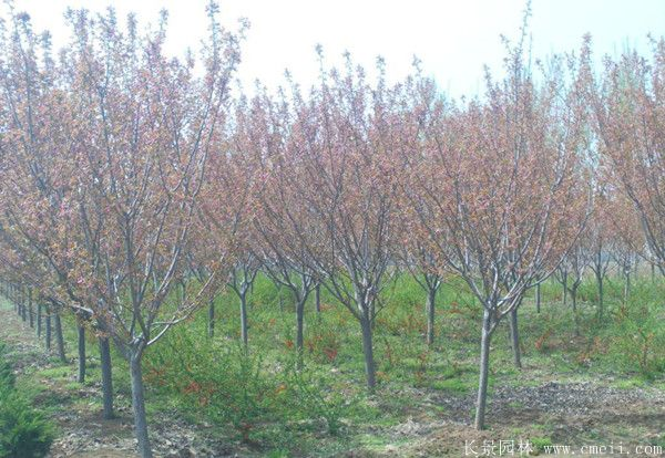 樱花树图片基地实拍