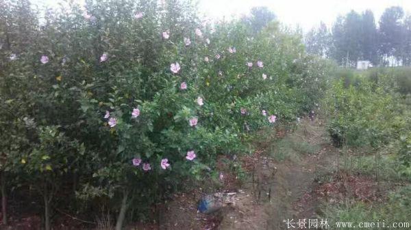 木槿花图片基地实拍