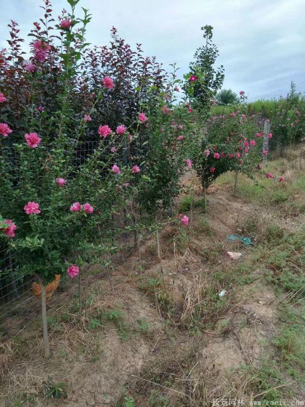 重瓣大花木槿树图片基地实拍