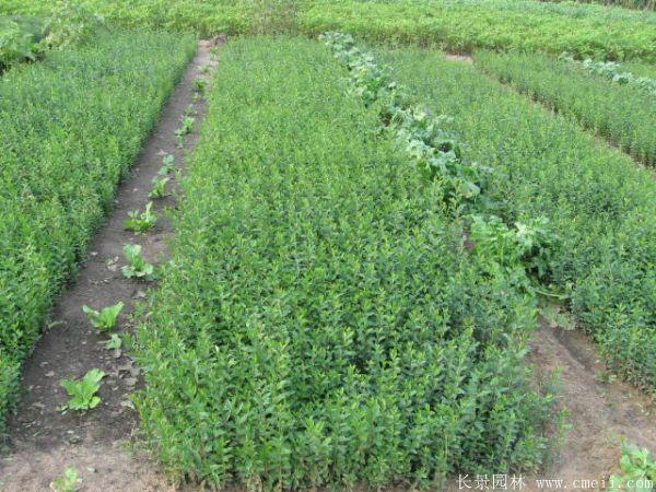 小叶女贞种子发芽出苗图片