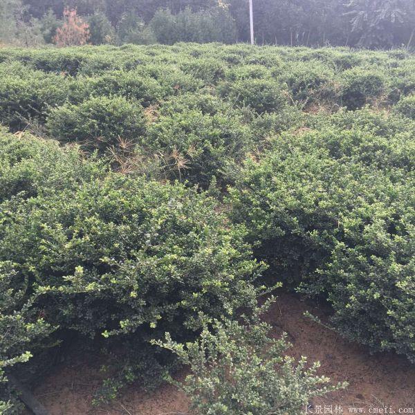 龟甲冬青图片基地实拍