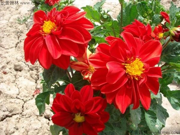 红色小丽花
