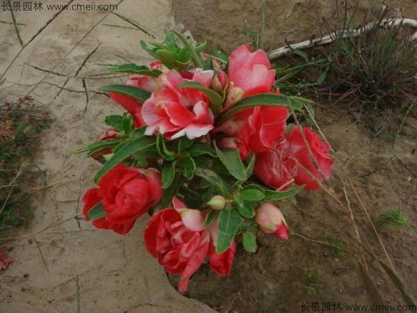 红色凤仙花图片