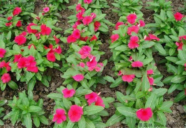 红色长春花图片
