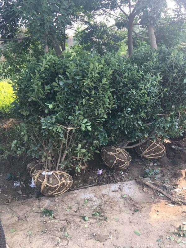 大叶黄杨球图片基地实拍