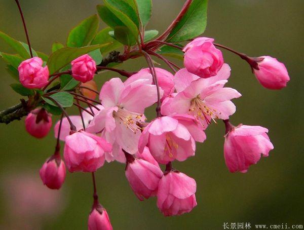 垂丝海棠花图片