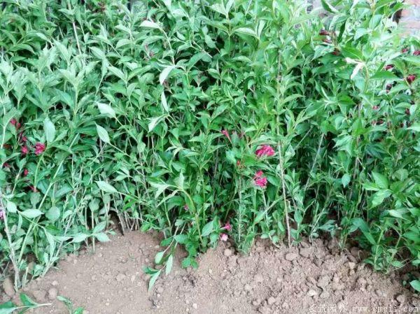 红王子锦带图片基地实拍