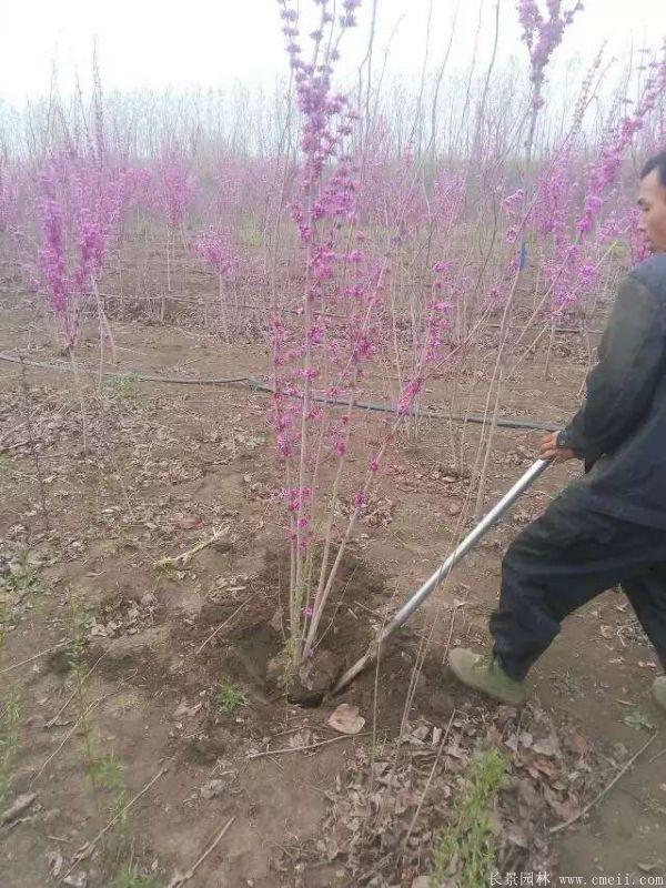 紫荆树图片基地实拍
