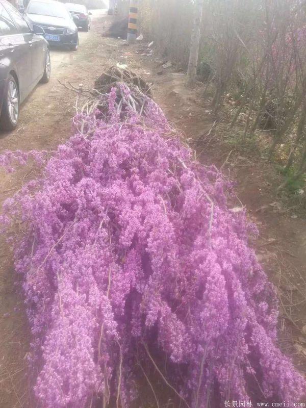 丛生紫荆树图片基地实拍