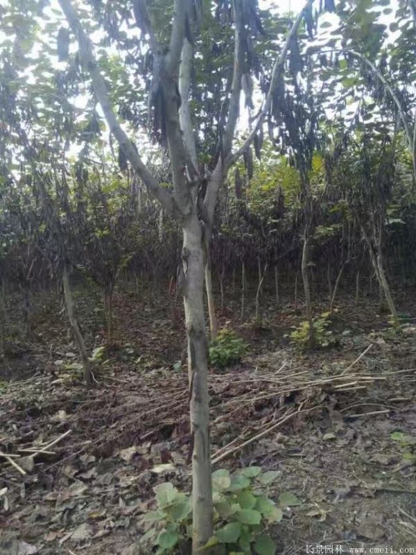 单杆紫荆树图片基地实拍