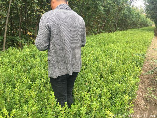 小叶黄杨图片基地实拍