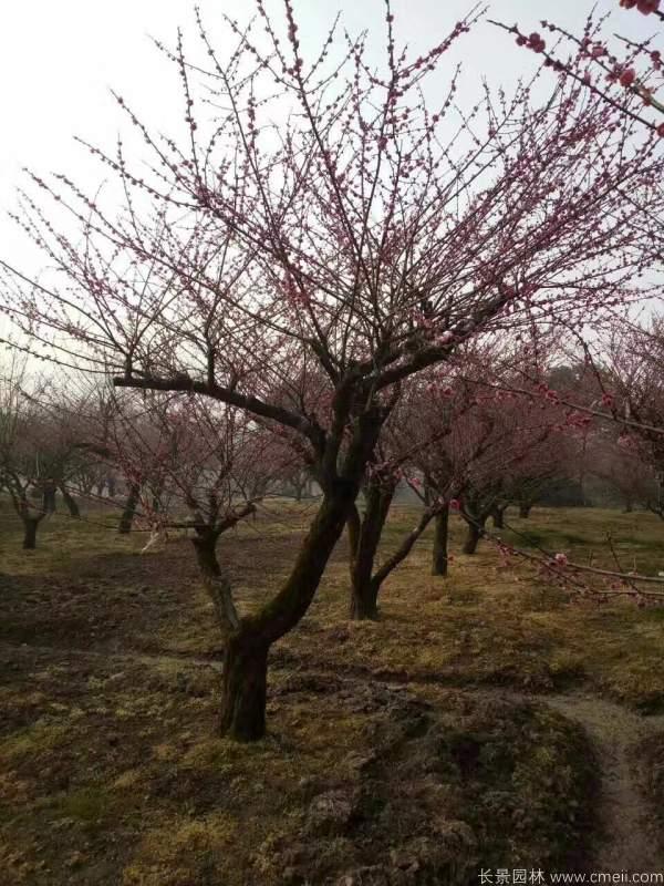 红梅树红梅花图片基地实拍