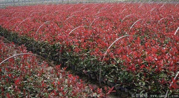 红叶石楠图片基地实拍