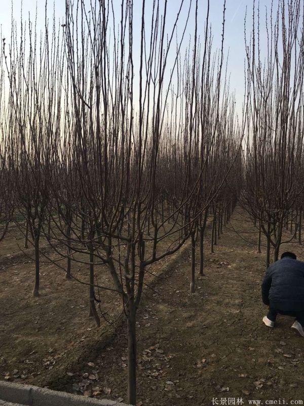 西府海棠图片基地实拍