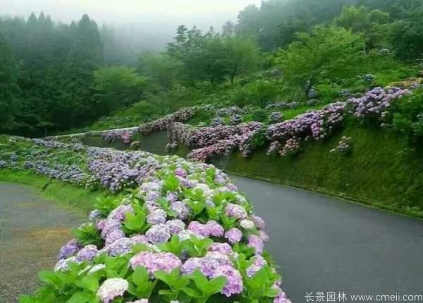 八仙花图片基地实拍