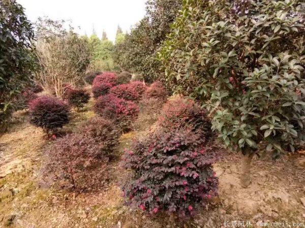 红花继木图片基地实拍