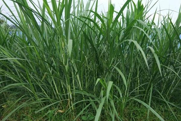 皇竹草种子图片