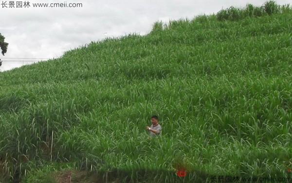 高产牧草皇竹草图片