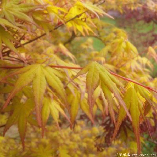 鸡爪槭图片基地实拍