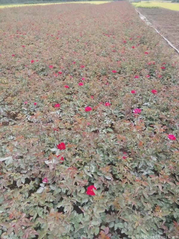 红帽月季图片基地实拍