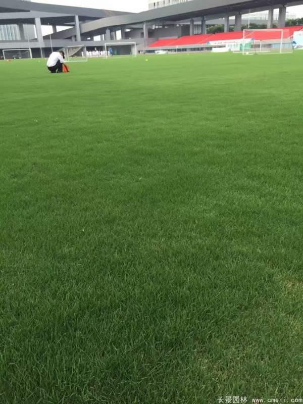 狗牙根草坪图片