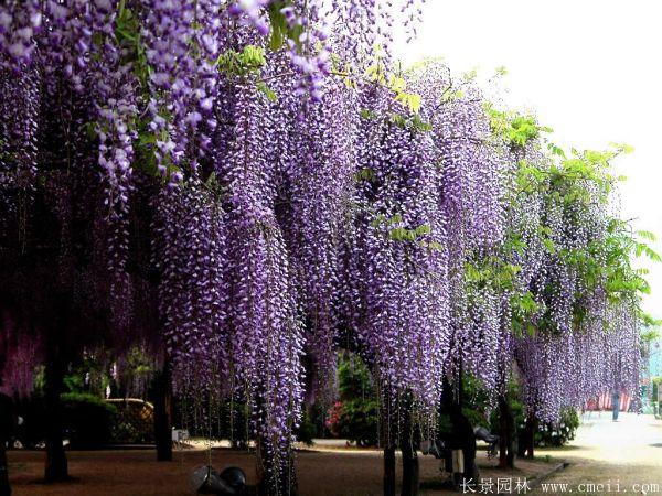 紫藤图片基地实拍