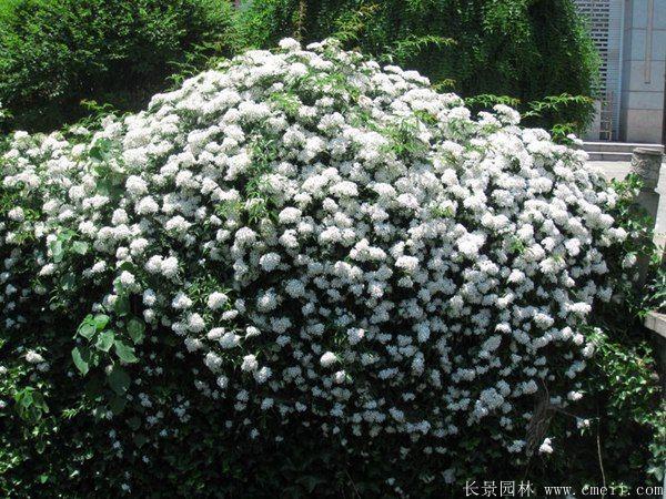 蔷薇苗图片基地实拍