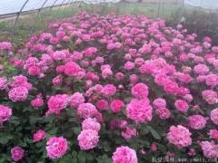 花径20厘米多大花月季品种图片玫