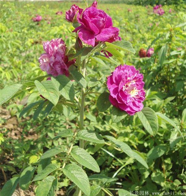 玫瑰花苗图片基地实拍