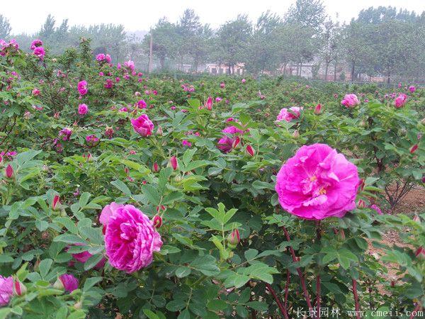 正宗玫瑰花开花图片