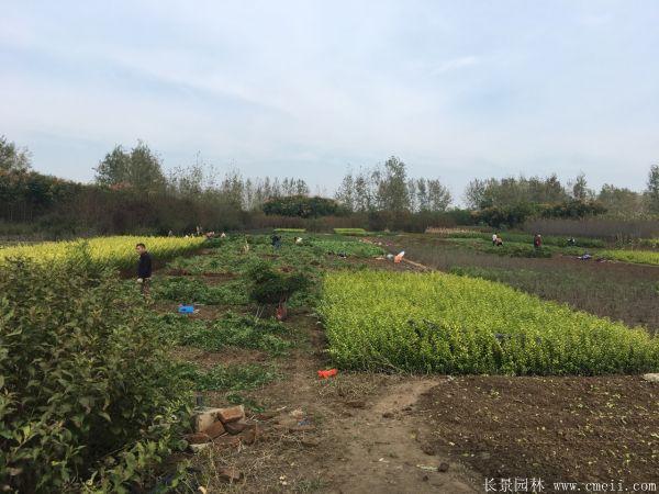 黄刺玫种子发芽出苗图片