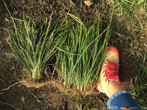 丹麦草基地实拍图片