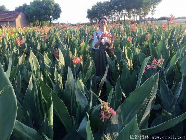 紫叶美人蕉基地实拍图片